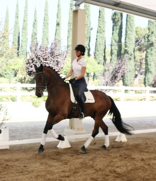 Andalusian gelding for sale