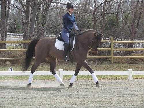 dressage horse trained to training level