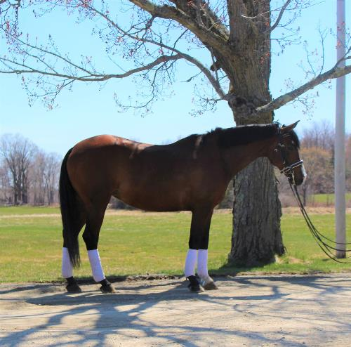 dressage horse for sale in Maine United States