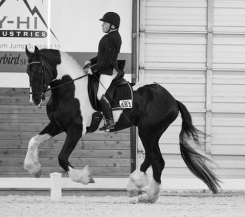 dressage horse trained to third level