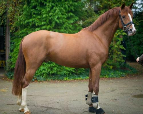 Hanoverian gelding for sale