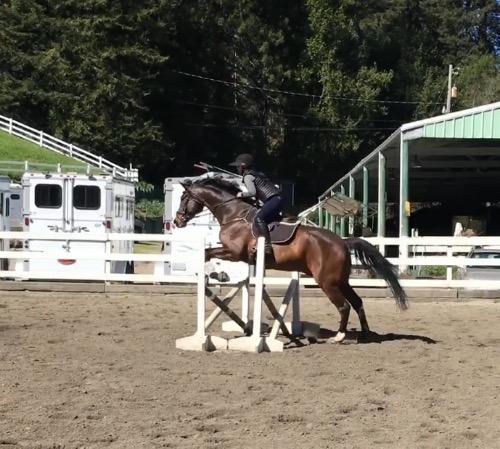 Holsteiner gelding for sale