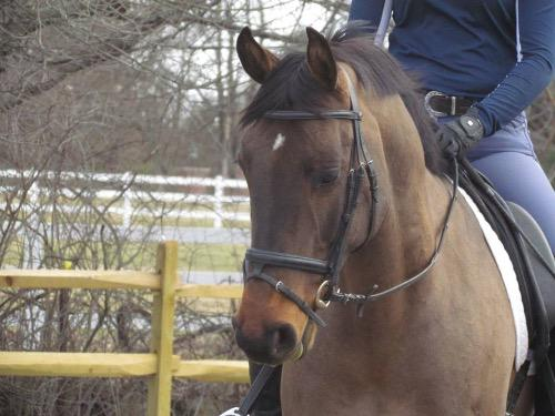 Canadian Warmblood Horse Breeders' Association gelding