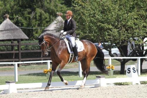 German Warmblood mare for sale