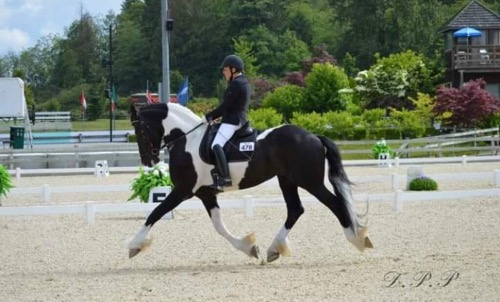 Friesian stallion for sale
