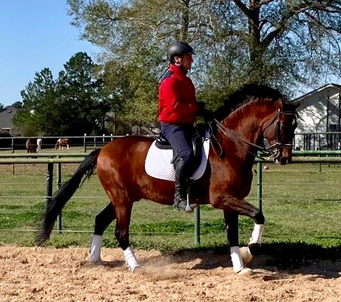 dressage horse for sale in Texas United States