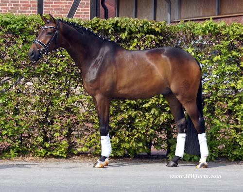 Dressage Horse For Sale- Reliable, cute FEI candidate with eye