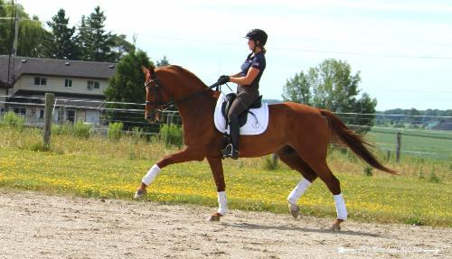 trained to intermediate 2 level dressage