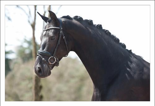Dutch Warmblood gelding for sale