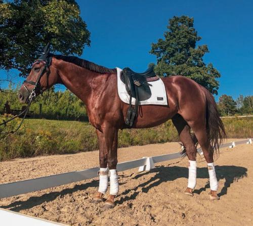 Liver Chestnut horse