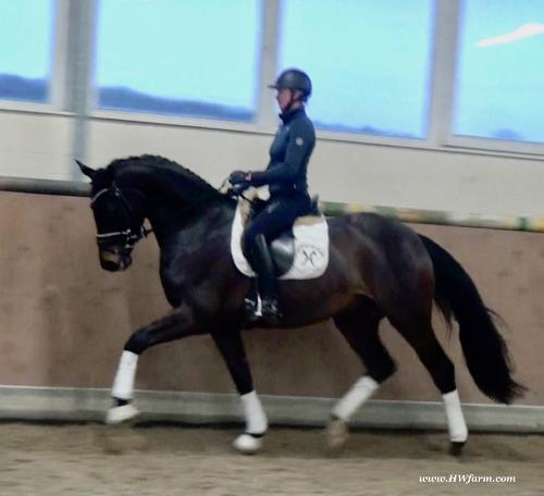 Francisco HW: Westphalian gelding for sale