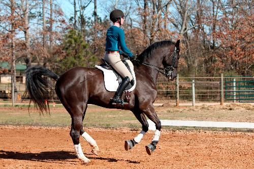 dressage horse trained to prix st george level