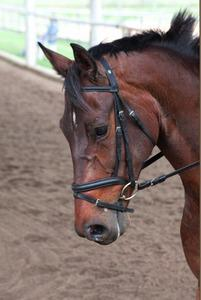 dressage horse for sale in Utah United States
