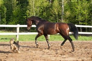 American and Canadian Morgan Horse Registry gelding