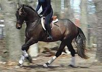 Other gelding for sale