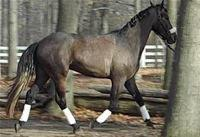 dressage horse for sale in New York United States