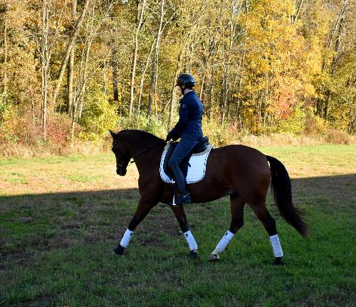 dressage horse trained to first level