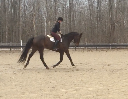 dressage horse trained to none