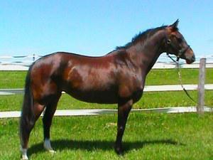 Westphalian mare for sale