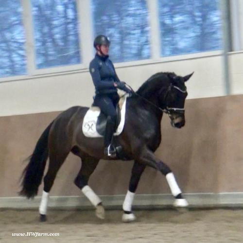 Westphalian gelding for sale