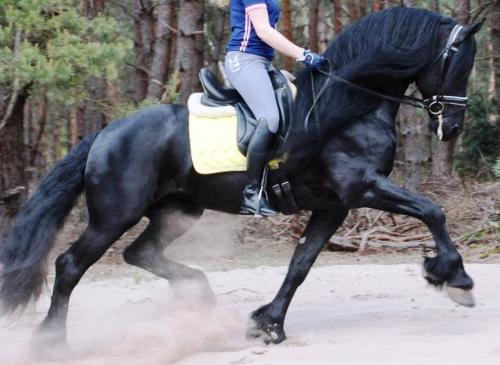 BlackSterlingFriesians.com is Your Number 1 Source for Friesian Dressage Superstars Beating Warmbloods in the Dressage Arena!: Friesian gelding for sale