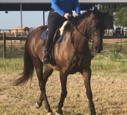 Dutch Warmblood mare for sale