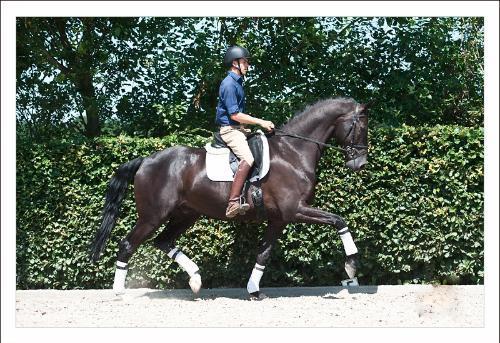 dressage horse for sale in Netherlands