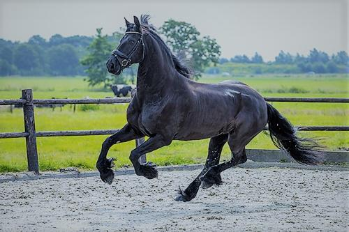 dressage horse for sale in California United States