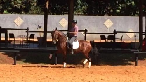 dressage horse for sale in Brazil
