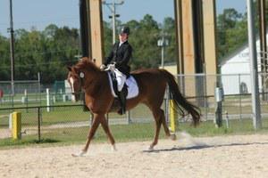 American Quarter Horse Association gelding