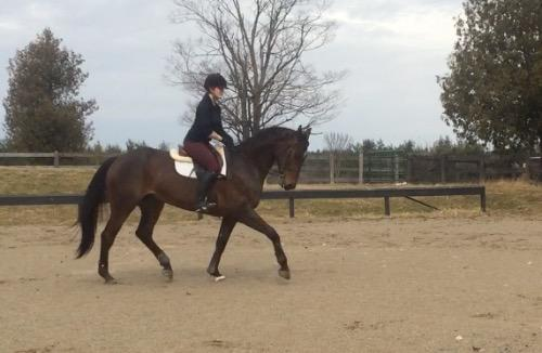 Hanoverian Verband, Belgian Warmblood Association mare