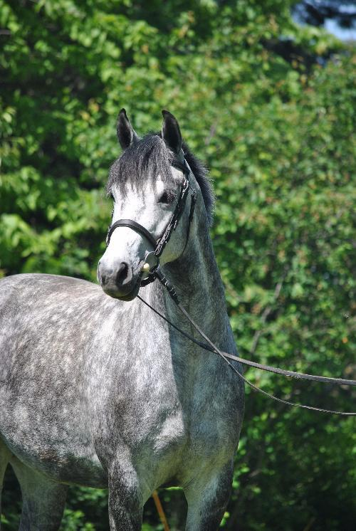 Danish Warmblood mare for sale