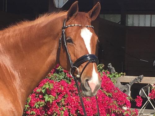 Holsteiner mare for sale
