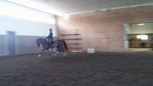 Canadian Warmblood mare for sale