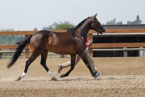 Hungarian Warmblood mare for sale