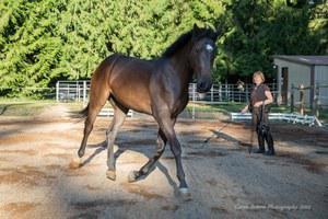 dressage horse for sale in Washington United States