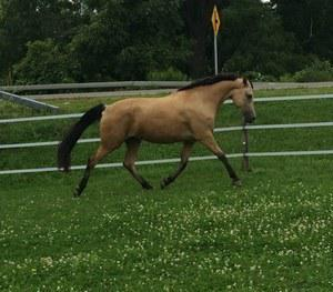 Morgan gelding for sale
