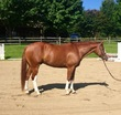 Oldenburg gelding for sale