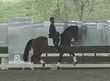Dutch Warmblood gelding for sale