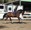 Holsteiner gelding for sale