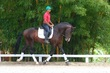 Lusitano gelding for sale