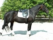 Oldenburg mare for sale