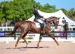 American Warmblood gelding for sale