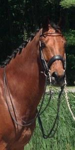 dressage horse for sale in Connecticut United States